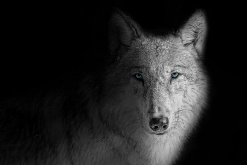 Wolf Canvas Wall Art -  Blue Moon
